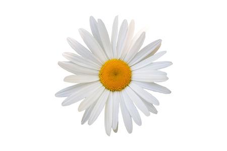 Photo pour beautiful flower white daisy on white background - image libre de droit