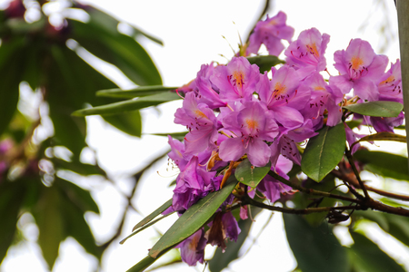 Photo pour Beautiful blooming purple rhododendron in the garden - image libre de droit