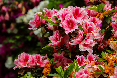 Photo pour Beautiful blooming pink rhododendron in the garden - image libre de droit