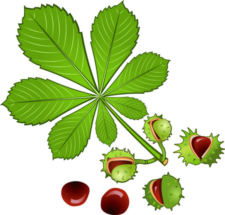 Ilustración de Leaves of horse chestnut tree and Conkers in shell - Imagen libre de derechos