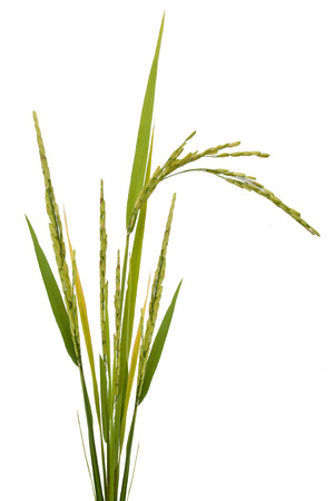 Foto de paddy rice isolated on white background - Imagen libre de derechos