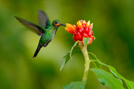 hummingbird Green-crowned Brilliant, Heliodoxa jacula, green bird from Costa Rica flying next to beautiful red flower with clear background, nature habitat, action feeding scene