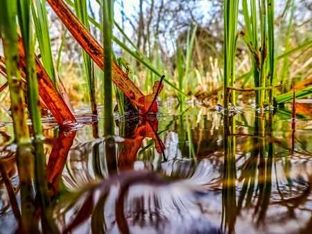 Photo for View along water level of red leaf and green reeds with foreground not in focus. Spot focus. - Royalty Free Image