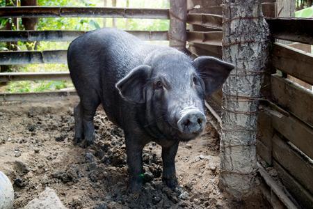Big Black Pig at farm
