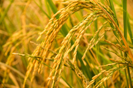 Foto de Close up of Yellow paddy rice plant. spike rice field - Imagen libre de derechos