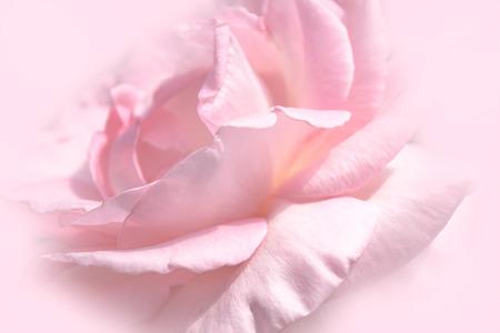 Photo pour Close-up floral pink rose flower soft color style for background and wallpaper - image libre de droit