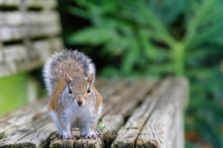 Photo for USA, Florida, Beautiful brown squirrel looking from wooden bench - Royalty Free Image