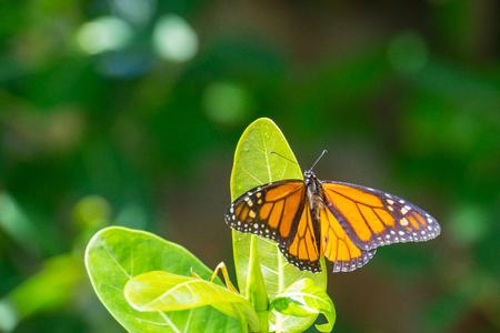 Foto de USA, Florida, Beautiful huge orange monarch butterfly on a leaf - Imagen libre de derechos