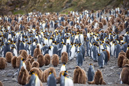 Photo for some penguins in the arctic walking around on the north pole and looking for the young baby's - Royalty Free Image