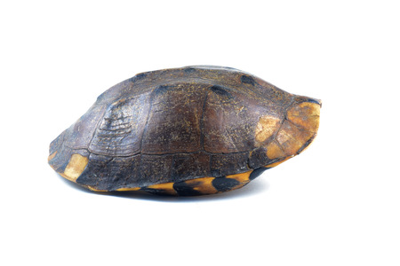 Photo for turtle armature on white background - Royalty Free Image