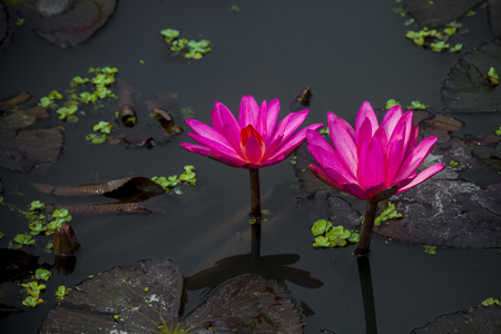 Photo for Red water lily in small pond near Dhamrai, Dhala, Bangladesh. - Royalty Free Image