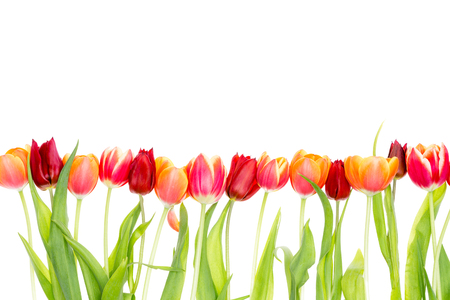 Photo for Isolated border on white with copy space of fresh red and orange spring tulips with green leaves - Royalty Free Image