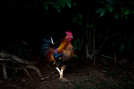 Foto de A single free range rooster with red wattle strutting through woodland in the darkness in Hawaii in a low angle view with copy space - Imagen libre de derechos
