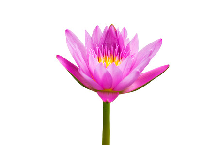 Foto de Beautiful Lotus.Purple water lilly isolated on white background.This has clipping path. - Imagen libre de derechos