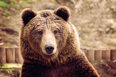 Photo for Front view of brown bear - Royalty Free Image