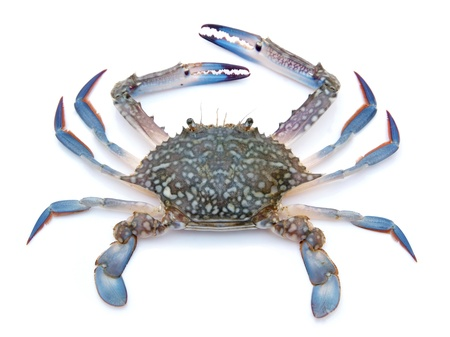 Photo pour Blue crab isolated on white background - image libre de droit