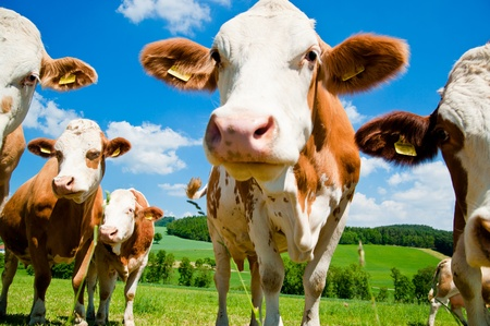 Cows close up in a farm