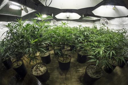 Foto de Indoor Marijuana Grow Room with Plants in Soil Under Lights - Imagen libre de derechos