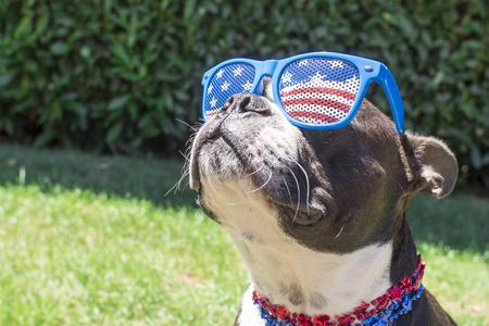 Photo pour Boston Terrier Dog Looking Cute in Stars and Stripes Flag Sunglasses - image libre de droit