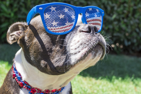 Photo pour Close Up Boston Terrier Dog Wearing Stars and Stripes Sunglasses on Fourth of - image libre de droit