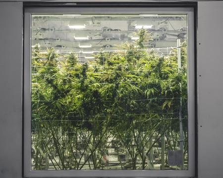 Foto für Cannabis background looking through glass at tall green plants - Lizenzfreies Bild
