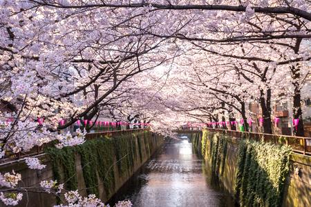 Photo pour Cherry blossom lined Meguro Canal in Tokyo, Japan. - image libre de droit