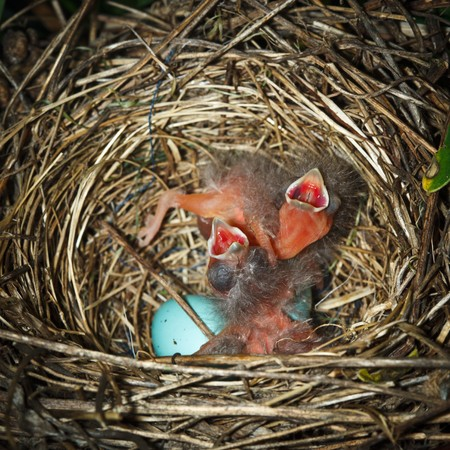 The nest of the Common Rosefinch (Carpodacus erythrinus) with eggs and baby bird in a wild nature.