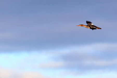 Photo pour Mergus serrator, Red-breasted Merganser.  The photo was taken in the Kandalaksha Gulf of the White Sea. Russia, Murmansk region. Island Lodeinoe. - image libre de droit