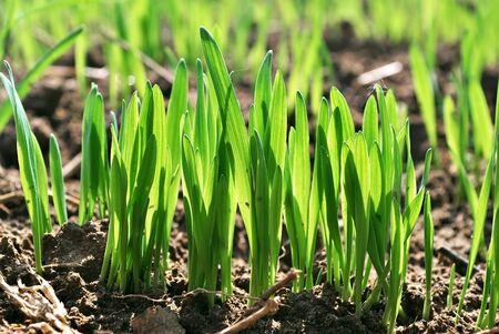 Photo pour Wheat germ  Spring wheat seedlings  - image libre de droit