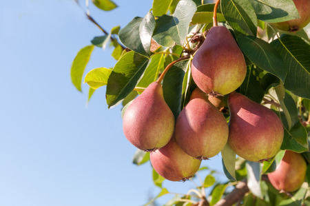 Photo for Ripe pears on the tree against the blue sky. - Royalty Free Image