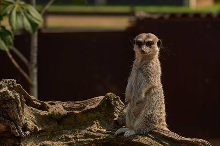 Foto de A little meerkat - Imagen libre de derechos
