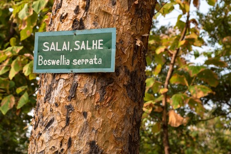 Foto de Boswellia serrata tree with plate with its name - Imagen libre de derechos