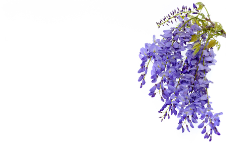 Foto de Wisteria flowers, green leaves border for an angle of page over a white background. decorative element - Imagen libre de derechos