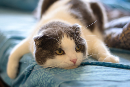 Photo pour A tired cat lies on the belly of the bed - image libre de droit
