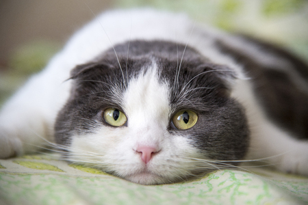 Photo pour A tired cat lies on the belly on the bed - image libre de droit
