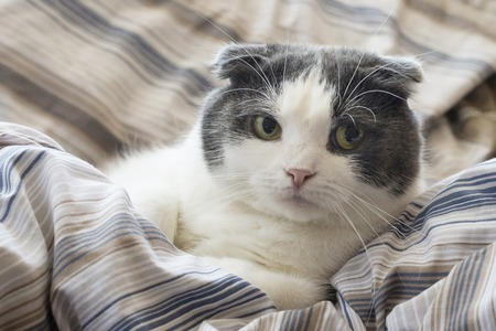 Photo pour A tired funny cat lies in the bed - image libre de droit