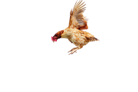 Foto de Chicken flies on a white background, cock spreading on the air. - Imagen libre de derechos