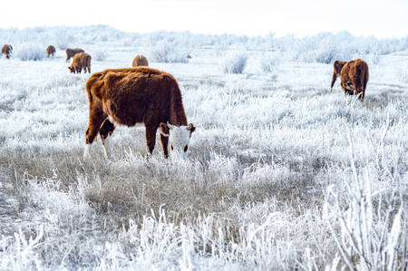 Foto de A herd of cows in the Kalmyk steppe in the winter. All vegetation covered with a thick layer of frost. - Imagen libre de derechos