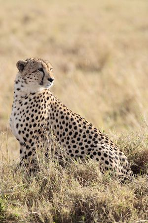 Photo pour   Cheetah n the  Masai Marra reserve in Kenya Africa - image libre de droit