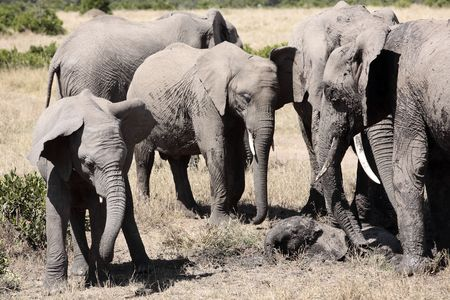 Foto de Elephants playing with mud to protect them from heat and sun  - Imagen libre de derechos