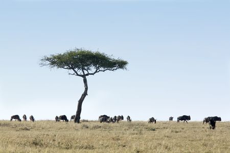 Foto de Wildebeest grazing  in the beautiful reserve of masai mara in kenya africa - Imagen libre de derechos