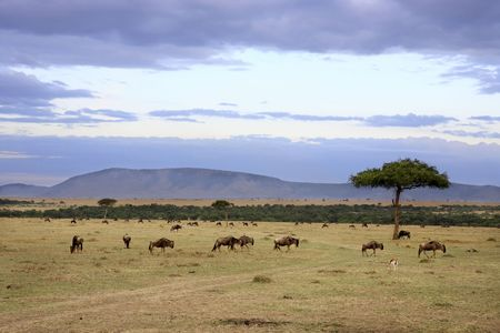 Photo pour in the beautiful plains of the masai reserve in kenya africa - image libre de droit