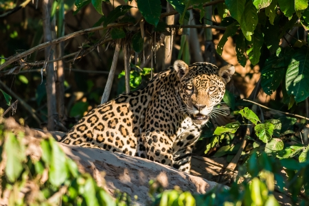 Foto de jaguar in the peruvian Amazonian jungle at Madre de Dios - Imagen libre de derechos
