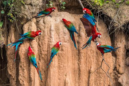 Photo pour macaws in clay lick in the peruvian Amazon jungle at Madre de Dios Peru - image libre de droit