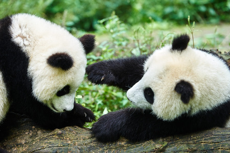 Photo for two Panda bears cubs playing Bifengxia base reserve Sichuan China - Royalty Free Image