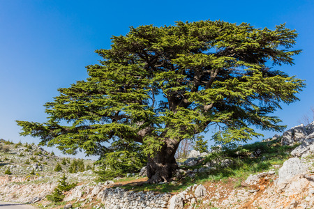 Photo for trees of Al Shouf Cedar Nature Reserve Barouk  in mount Lebanon Middle east - Royalty Free Image
