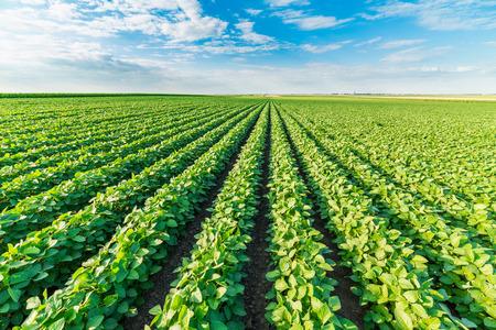 Foto de Soybean field ripening at spring season, agricultural landscape - Imagen libre de derechos