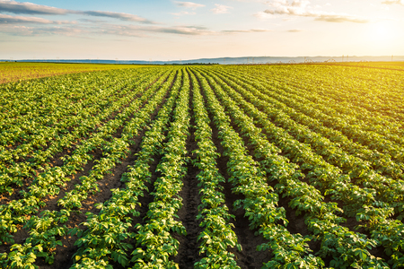 Foto de Green field of potato crops in a row - Imagen libre de derechos