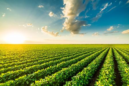 Photo pour Green ripening soybean field, agricultural landscape - image libre de droit