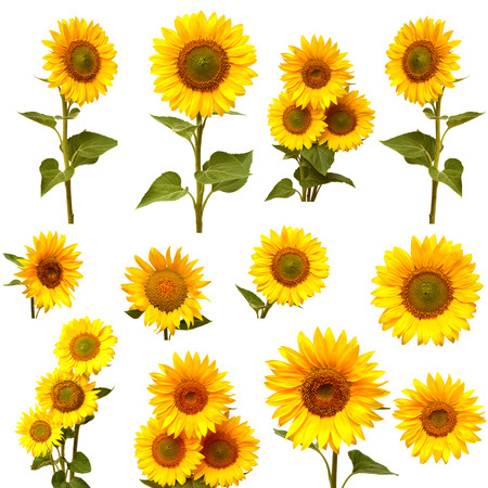 Photo pour Sunflowers collection on the white background - image libre de droit